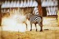 Картинка животные, китай, пыль, зоопарк, зебры