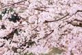 Картинка цветы, природа, вишня, дерево, ветви, весна, сакура