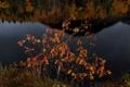 Картинка осень, озеро, отражение, ягоды, дерево