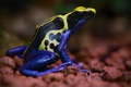 Картинка colors, frog, poisonous
