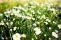 Картинка листья, цветы, фон, widescreen, обои, ромашки, ромашка