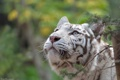Картинка морда, интерес, хищник, белый тигр, дикая кошка, внимание, любопытство