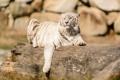 Картинка отдых, хищник, бревно, белый тигр, дикая кошка