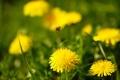 Картинка травка, растения, природа, одуванчики, макро, цветы
