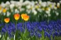 Картинка поле, природа, весна, лепестки, сад, тюльпаны, плантация