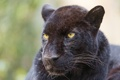 Картинка кошка, морда, пантера, черный леопард, ©Tambako The Jaguar