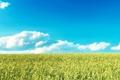 Картинка облака, горизонт, небо, рожь, злаки, поле, пшеница