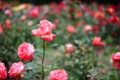 Картинка зелень, цветы, природа, блики, розы, размытость