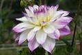 Картинка осень, лепестки, бутон, цветение, георгин, бело-фиолетовая