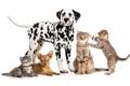 Картинка собаки, кошки, котята, белый фон, далматин, чихуахуа