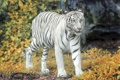Картинка осень, белый тигр, тигр