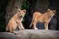 Картинка животные, кошки, хищники, львята, зоопарк