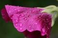 Картинка цветок, капли, макро, вниз, пелюстки