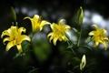 Картинка цветы, природа, лилии