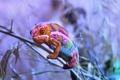 Картинка природа, хамелеон, цвет