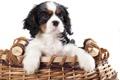Картинка корзина, малыш, щенок, puppy, dog, песик, baby