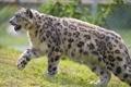 Картинка кошка, трава, профиль, ирбис, снежный барс, ©Tambako The Jaguar