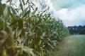 Картинка мальчик, настроение, кукуруза, лето