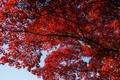 Картинка осень, небо, природа, дерево, красные, веточки, личтья