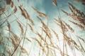 Картинка лето, небо, трава, облака, макро, колоски, сухие