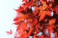 Картинка природа, белый фон, красные листья, веточки