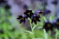 Картинка зелень, цветок, лилия, колокольчики, темная, Chocolate Lily