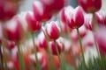 Картинка фокус, весна, тюльпаны, цветение, бело-розовые