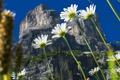 Картинка цветы, природа, гора, ромашки