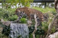 Картинка пятна, дикая кошка, заросли, ягуар, зоопарк, прогулка, водопад