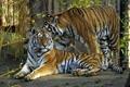 Картинка кошки, тигр, пара, амурский