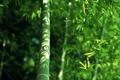 Картинка зелень, листва, бамбук