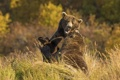 Картинка природа, осень, медведи