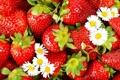 Картинка цветы, ромашки, клубника, ягода, красная