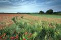 Картинка поле, лето, пейзаж, маки