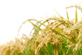 Картинка колосья, трава, боке