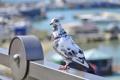 Картинка голубь, весна, птицы