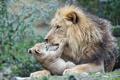 Картинка кошка, лев, детёныш, котёнок, львёнок, ©Tambako The Jaguar