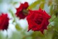Картинка цветок, красное, роза