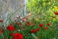 Картинка трава, маки, лепестки, двор