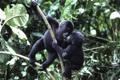 Картинка малыши, гориллы, mountain gorilla
