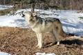 Картинка зима, лес, волк