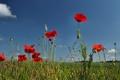 Картинка небо, маки, растение, луг, поле, цветы