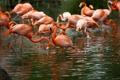 Картинка фламинго, вода, много