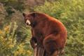 Картинка Барибал, пень, медведь