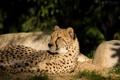 Картинка кошка, солнце, отдых, гепард