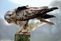 Картинка птица, столб, оперение