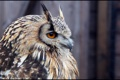 Картинка сова, птица, профиль, рогатая