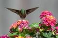 Картинка цветы, нектар, птица, колибри
