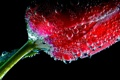 Картинка цветок, вода, пузырьки, тюльпан, воздух