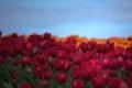 Картинка поле, небо, лепестки, тюльпаны